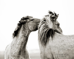 Wild Horses on Carrot Island, NC (littlechefstef) Tags: ocean beach water nc northcarolina mustang outerbanks wildhorses shacklefordbanks obx carrotisland horsebehavior bankerhorse horseonthebeach stephaniemoon wildhorsebehavior rachelcarsonreserve ferrelhorses