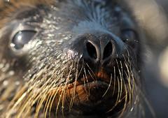 Sea Lion Snout (Prairie_Wolf) Tags: nature nose ecuador wildlife snout travelphotography galapagosislands galapagossealion zalophuswollebaeki rachelmackayphotography