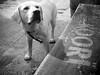 _otto en el koori australian bar_ ([marta díez . fotografía]) Tags: dog blancoynegro canon perro labradorretriever raza labarador ixus55