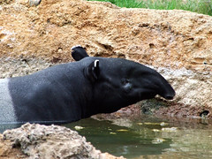 """Malayan Tapir face • <a style=""""font-size:0.8em;"""" href=""""http://www.flickr.com/photos/34843984@N07/15353739758/"""" target=""""_blank"""">View on Flickr</a>"""