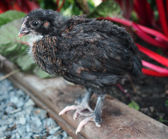Molly Outside (gapey) Tags: outside olympus greenhouse chicks omd 3weeks hens americanas pullets 3weeksold marans em5 1240mm eastereggers backyardchickens blackcoppermarans baxterbarn