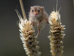 Harvest Mouse - British Wildlife Centre (mikehook51) Tags: uk autumn england nature animals fauna digital mouse corn wildlife surrey rare harvestmouse lingfield britishwildlifecentre canoneos7d
