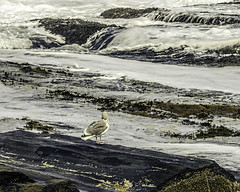 Seagull (Linda Kosidlo) Tags: ocean birds waves seagull maine odc capeelizabeth