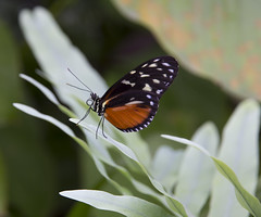 Just having a rest (Marijn Willemse) Tags: orange plant leaves butterfly garden insect leaf rest resting fleeting beatiful whitedots