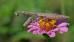 Big Praying Mantis (flyfishermike) Tags: