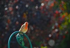 Bokeh in the garden! (ineedathis) Tags: autumn bird nature garden bokeh finch housefinch avian nikond80 haemorhousmexicanus