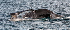 WHALE TAILS (John C. Bruckman @ Innereye Photography) Tags:  john photography bay monterey moss c landing whale whales humpback tails bruckman innereye johncbruckman 8312514008 innereyephotography johnjbruckmancom