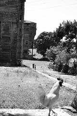 the guard (LG_92) Tags: blackandwhite white abandoned monochrome animal turkey nikon noiretblanc guard istanbul cock woodenhouse schwarzweiss guarding 2014 princessisland feketefehr