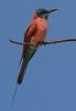 Northern Carmine Bee-eater (Rainbirder) Tags: kenya northerncarminebeeeater meropsnubicus lakebaringo rainbirder