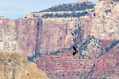 California Condor (isaac.borrego) Tags: arizona bird animal nationalpark wildlife grandcanyon canyon cliffs californiacondor plateaupoint canonrebelt4i