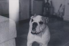 Entre duas e cinco da tarde (ONVERKLAARBARE) Tags: dog white black film k branco noir delta preto e cachorro zenit filme schwarzweiss 3200 blanc ilford 212 analogic analgico
