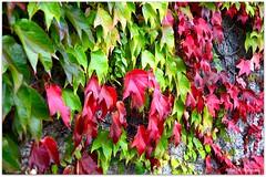 farbenfroh (mayflower31) Tags: autumn rot leaves herbst grn bltter wilder mauer wein farben