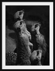 suricate gang (Andrew C Wallace) Tags: bw zoo meerkat gang australia melbourne victoria suricate