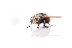 I am Fred and might be ugly (Drachenfanger) Tags: hairy macro nature virginia fly unitedstates natur ugly fred makro virginiabeach kunstwelt photosophie drachenfanger