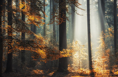 Luminous Forest (Zino2009 (bob van den berg)) Tags: autumn trees li