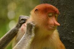 Massage... (Jenny NLF) Tags: monkey wildlife borneo sabah