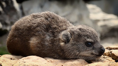 Dassie (WelshPixie) Tags: baby cute hermanus southafrica westerncape rockhyrax dassie
