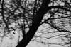 untitled (nevil zaveri (thank U for 15M views:)) Tags: trees blackandwhite bw india home nature monochrome fly photo blog dusk wildlife stock flight images motionblur bark trunk cormorant wilderness roadside conceptual canopy zaveri acacia colony gujarat stockimages gujrat nevil kheda nevilzaveri