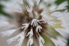 15 - Nov - 2014 - Late Dandelion (Pittypomm) Tags: white macro water droplets drops dandelion seeds dew