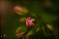 Bocciolo di Geranio (Laralucy) Tags: macro verde closeup bokeh rosa natura fiore geranio bocciolo fuocoselettivo