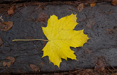 autumn leaf (spencerrushton) Tags: park texture beautiful digital garden leaf woods walk canon350d windsor spencer manfrotto windsorgreatpark rushton 600d manfrottotripod canon24105mmlf4 canon600d spencerrushton canon24105mmf4lmm canon24105f4lmm