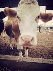 La vaca :)