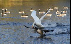 Zwaan (Karpendonkse plas, Eindhoven) (ToJoLa) Tags: autumn nature water canon swan herfst natuur eindhoven gans zwaan najaar karpendonkseplas canoneos60d
