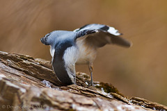 """""""More where that one came from!"""" (Doug Scobel) Tags: kensington nuthatch metropark whitebreasted sitta carolinensis"""
