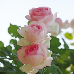 Rose, Pierre de Ronsard, ,   , (T.Kiya) Tags: rose  pierrederonsard   flowerfestivalcommemorativepark