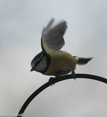 Must fly (Katy Wrathall) Tags: 2016 2016pad autumn bluetit eastriding eastyorkshire england november bird feeders garden