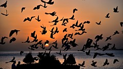 When the wishes fly (Sanjiban2011) Tags: doha qatar sun sunrise morning earlymorning dawn goldenhour birds flyingbird flying freedom pigeons silhouette corniche outdoor nikon d750 fullframe fx nikon24120 nature
