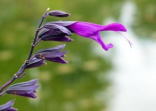 Mexiko Salbei (Salvia amistad)