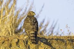 Cooper's Hawk (X68_8970-1) (Eric SF) Tags: coopershawk hawk raptor coyotehillsregionalpark fremont california ebparks ebparksok