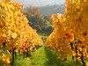 Vineyard (almresi1) Tags: vineyards weinberge remstal herbst autumn