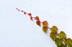 DSC_0003 (devoutly_evasive) Tags: leaf vine spray leaves foliage autumn fall colors colours green orange yellow red rainbow whitebackground white plaster outdoor trailer creeper spectrum contrast organic minimalism gradient gradience