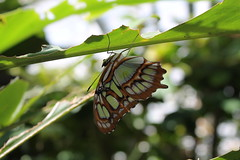 butterfly topsy-turvy (lara.con) Tags: butterfly leaves leaf green blue orange nature natural greens beautiful topsyturvy insect insects