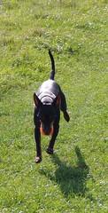 Draco retreiving (Lil Shepherd) Tags: draco dogs walthamabbey