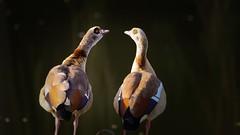 Look at me (Yasmine Hens) Tags: birds two hensyasmine namur belgium wallonie europa aaa  belgique blgica    belgio  belgia   bel be ouette