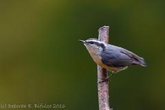 Yank Yank (dbifulco) Tags: rbnu bird nature newjersey nikkor300 outdoor redbreastednuthatch wildlife yard