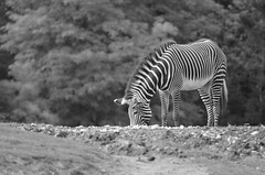 Zebra (dfromonteil) Tags: zbre zebra stripes animal nature wildlife black white bw
