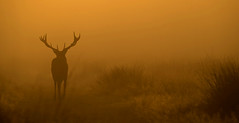 Deer in the Mist (oddie25) Tags: canon 1dx 100400mkii deer stag reddeer rut richmond richmondpark autumn nature wildlife