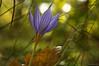 See my old friend again (oskaybatur) Tags: crocus çiğdem autumn sonbahar ekim october türkiye turkei çerkezköy turkey 2016 oskaybatur wildflower pentaxkr sigma1770 pentaxart justpentax nature dof bokeh flower