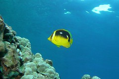on top of the reef (BarryFackler) Tags: chaetodonquadrimaculatus butterflyfish fourspotbutterflyfish lauhau fish cquadrimaculatus vertebrate creature organism fauna water westhawaii 2016 reef tropical undersea underwater island life outdoor ocean pacificocean polynesia pacific kona konacoast konadiving scuba hawaiidiving marine bigisland hawaii hawaiiisland hawaiicounty honaunau honaunaubay thanksgivingday2016 thanksgiving thanksgivingday diver diving dive southkona sea seacreature sealifecamera sandwichislands sealife animal aquatic marinelife marinebiology marineecosystem marineecology nature bay barronfackler barryfackler biology being bigislanddiving coral coralreef zoology