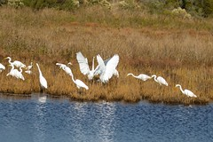 7K8A3843 (rpealit) Tags: scenery wildlife nature chincoteaque national refuge great egrets egret bird