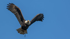 Low Hanging Tail (Ken Krach Photography) Tags: eagle