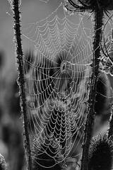 Cobweb droplets (Mark Heine Photos) Tags: cirrus wilsonflats clouds sunrise tree morning spiderweb canada grandriver ontario markheine elora teasels cobweb field westmontrose ca