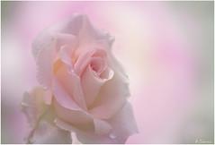 Pink (antoniocamero21) Tags: rosa pink foto color sony