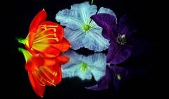 Tricolore (Luc1659) Tags: orange tre fiori azzurro viola riflessi macro