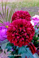 Red Dahlie (Bernsteindrache7) Tags: autumn red color flora fauna flower garden bloom blossom blume outdoor landscape park panasonic lumix