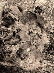 trunk art (williamw60640) Tags: tree treetrunk forest shawneenationalforest blackandwhiteselfie nature